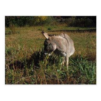 Little gray Donkey w / wildflowers Post Card