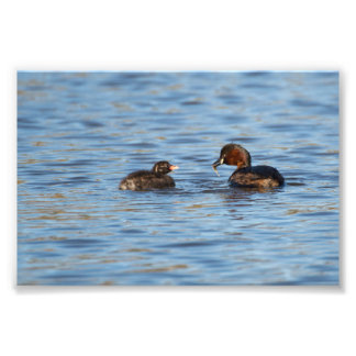 Little Grebe and Chick Photo Print