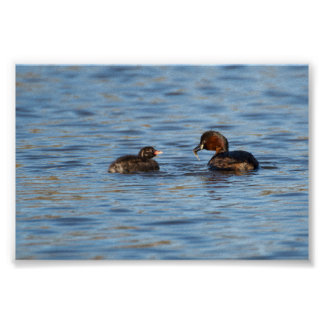 Little Grebe and Chick Poster