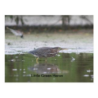 Little Green Heron Postcard