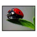 Little Ladybug Postcard