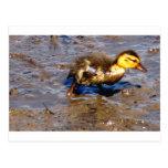Little Mallard Duck Postcard