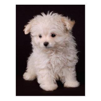 Little Maltese Puppy Postcard