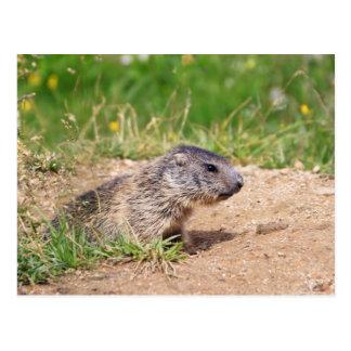 little marmot postcard