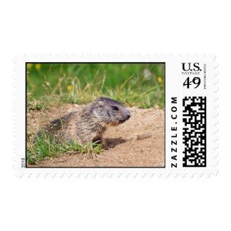 little marmot stamp