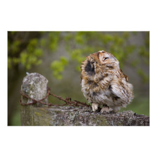 Little puff ball. Tawny Owl Poster