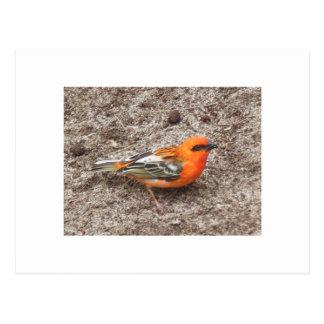 Little Red Bird Postcard