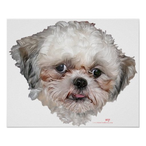 Little Rescued Shih Tzu Head Study Poster