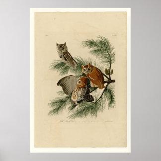 Little Screech Owl Poster