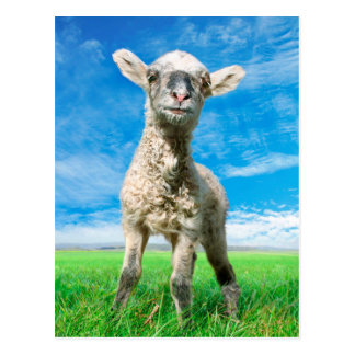 Little sheep is looking at you postcard