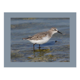 Little Stint Postcard