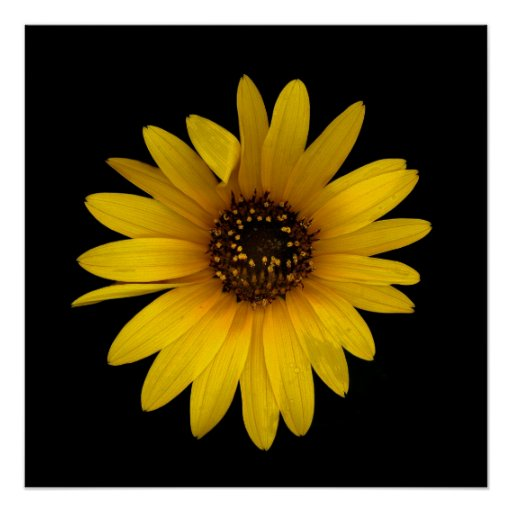 Little Sunflower I Poster