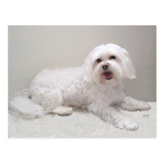 Little White Dog (Maltese) Rescue Postcard