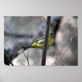 Little white+eye bird on a Twig Print