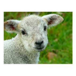 Little White Lamb Post Cards