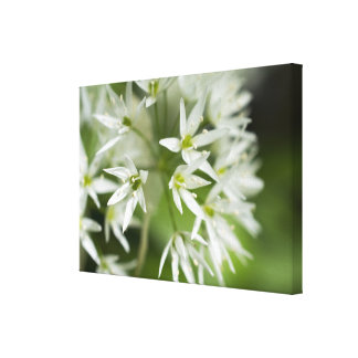 Little White Star Flowers Canvas Print
