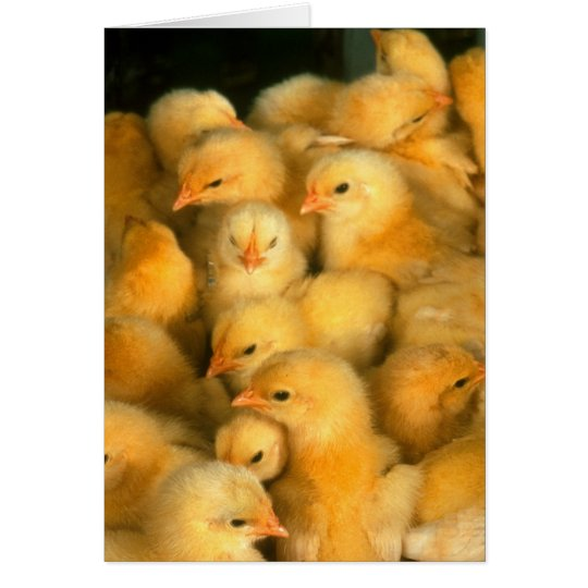 Little Yellow Chicks Card