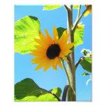 Little Yellow Sunflower 8x10 Photographic Print