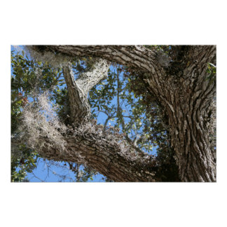 live oak  bark and sky view nature photograph poster