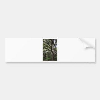 Live oak & mossLive Oak Trees - Quercus virginiana Bumper Sticker