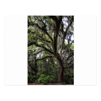 Live oak & mossLive Oak Trees - Quercus virginiana Postcard