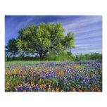 Live Oak & Texas Paintbrush, and Texas Photo Print