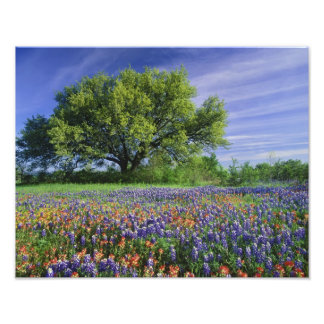 Live Oak & Texas Paintbrush, and Texas Photo Print