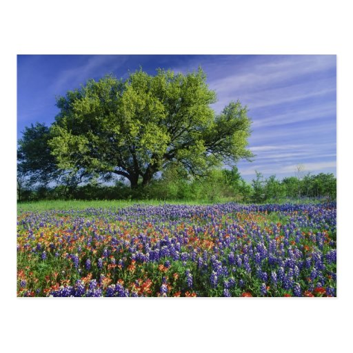 Live Oak & Texas Paintbrush, and Texas Post Cards