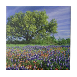 Live Oak & Texas Paintbrush, and Texas Tile