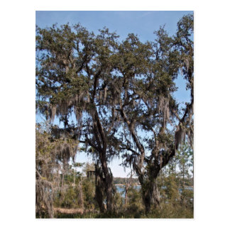 Live oak tree in river banks against the blue sky post cards