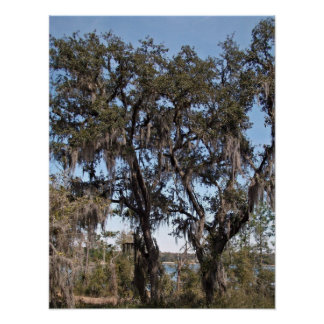 Live oak tree in river banks against the blue sky posters