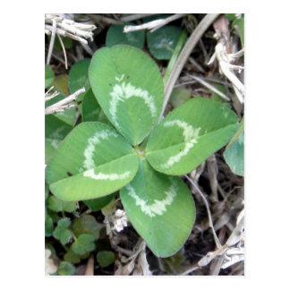Live Real 4 Leaf Clover Photo Postcard