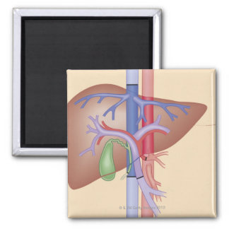 Liver Transplant Procedure Magnet