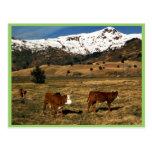 Livestock on Kodiak Post Card