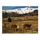 Livestock on Kodiak Postcards