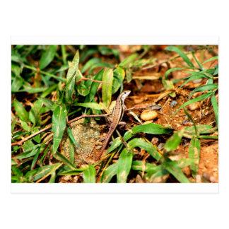 Lizard Dominican Republic 2 Postcard