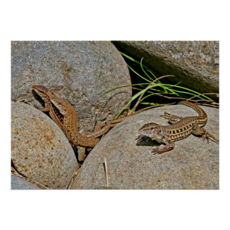 Lizards Mating Posters
