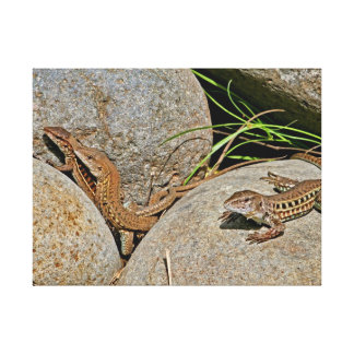 Lizards Mating Stretched Canvas Prints