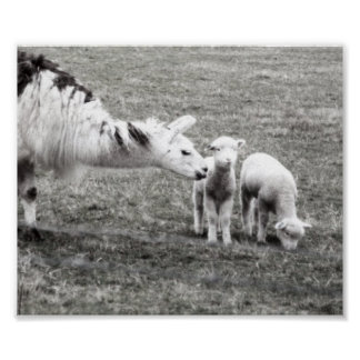 Llama and Lambs Poster