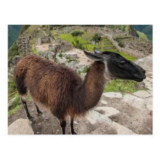 Llama At Machu Picchu, Aguas Calientes, Peru Postcard