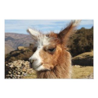 Llama Brown Close up Head Art Photo