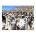 Llama Disco Post Card