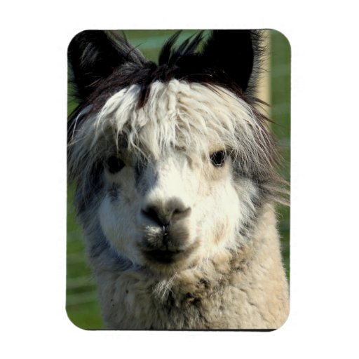 Llama Face Magnet Rectangle Magnet