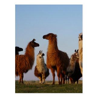 Llama gang postcard
