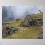 Llama (glama del lama) entre las terrazas del inca póster