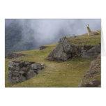 Llama (glama del lama) entre las terrazas del inca felicitación