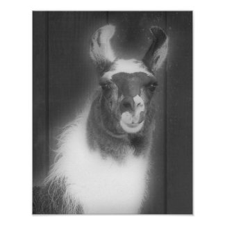 Llama In Black And White Animal Poster