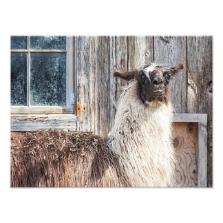 Llama in front of a barn photo print