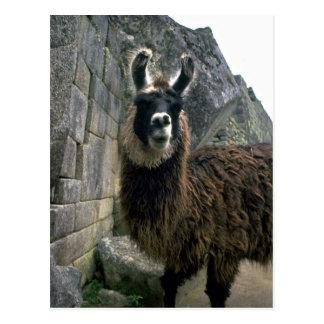 Llama In Peruvian Ruins Postcard