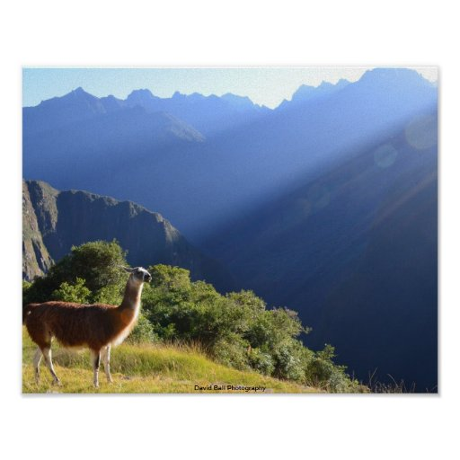 Llama in the Andes Print
